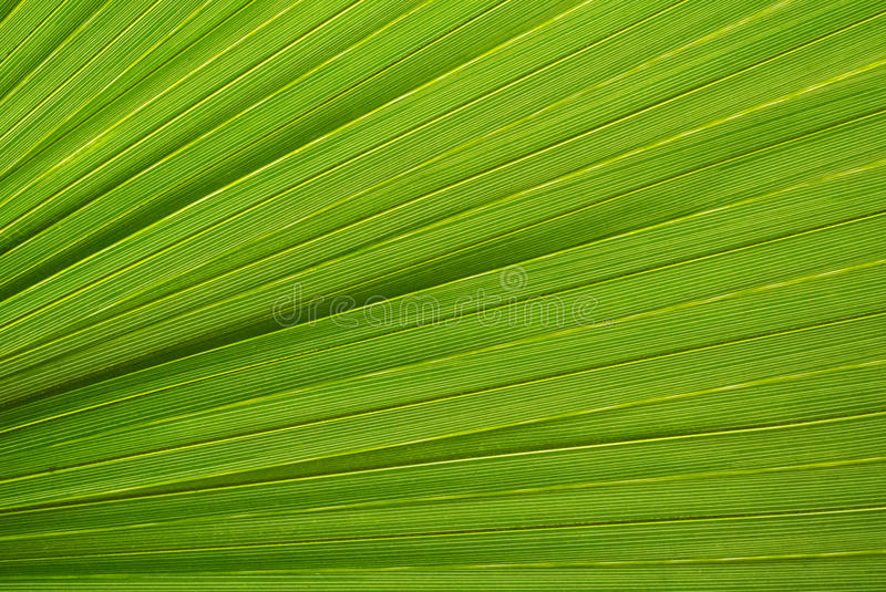 Palm leaf texture. A green natural background royalty free stock images