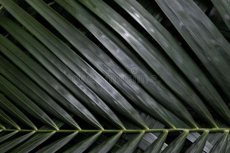 Palm leaf texture pattern background. Nature texture concept, leafs, natural, textured, wallpaper, surface, green, purple, dark, tone, color, jungle, spa stock photography