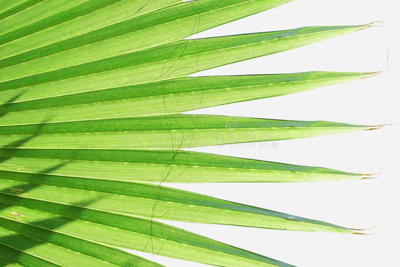 Download Palm Leaves Royalty Free Stock Image - Image: 10387756