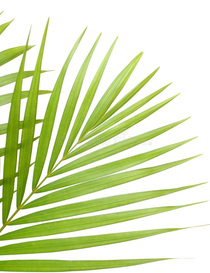 Palm leaves. Tropical palm leaves isolated on white royalty free stock images