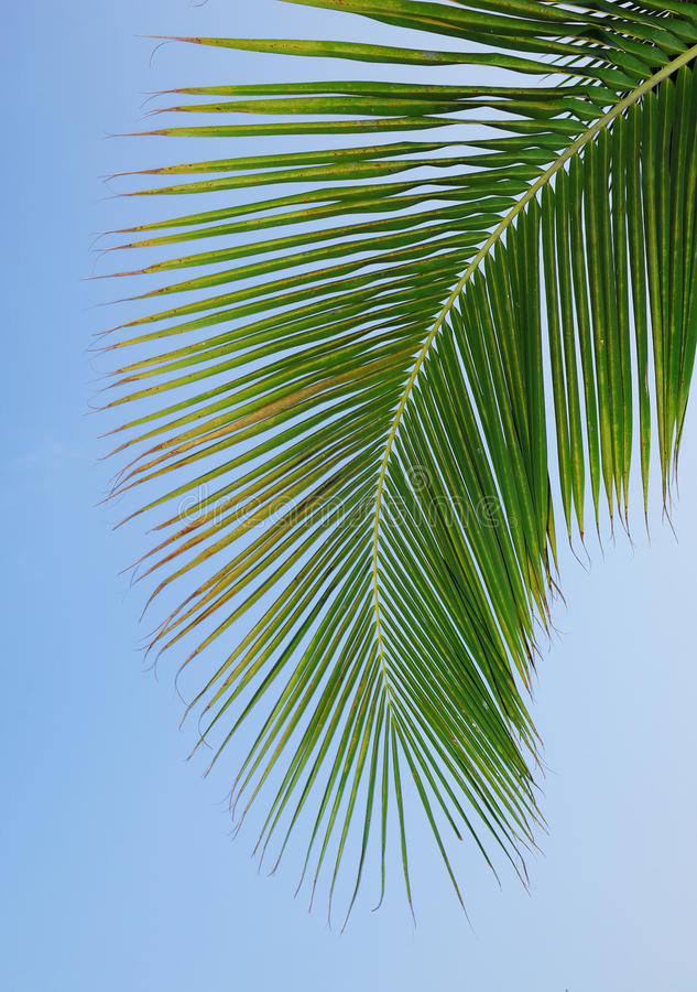 Download Palm leaves stock image. Image of light, maui, tropical - 14860067