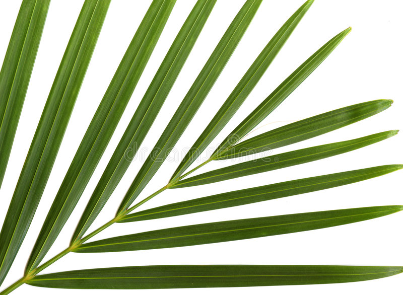 Palm leaves. Green leaves on a white background for use as design elements stock photography