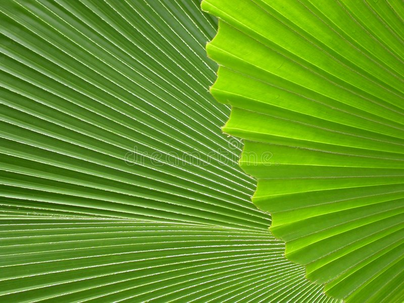 Palm leaves. Detail of overlapping palm leaves