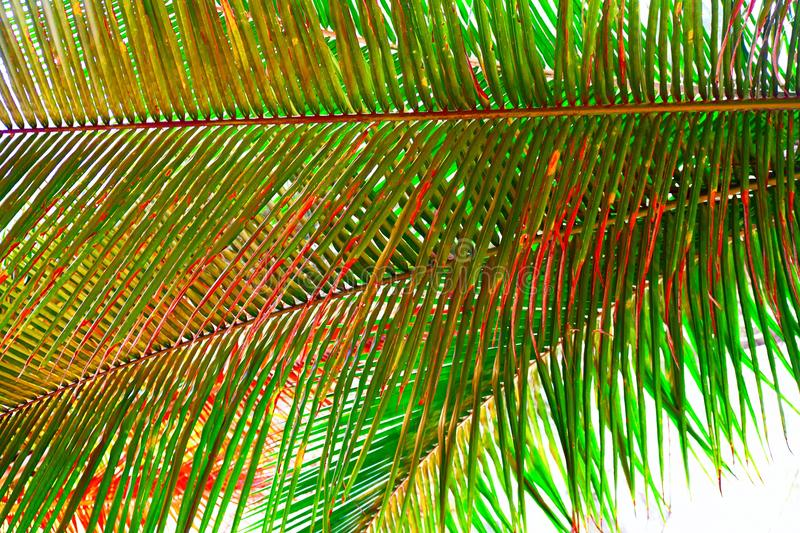 Palm Leaves - Abstract Natural Green Background with Tinge of Red royalty free stock images
