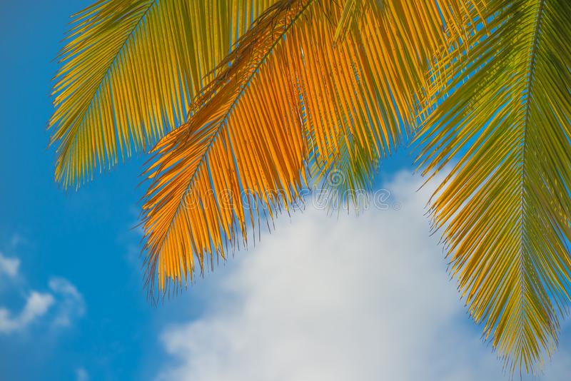Palm leaves with a beautiful blue sky and fluffy clouds in the background - taken in Dominica before Hurricane Maria destruction royalty free stock photography