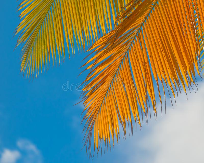 Palm leaves with a beautiful blue sky and fluffy clouds in the background - taken in Dominica before Hurricane Maria destruction stock photo