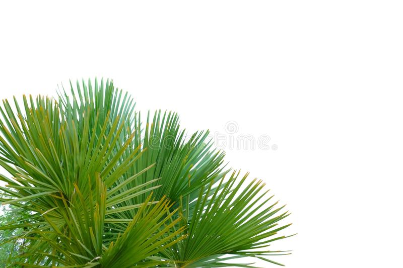 Palm leaves with branches on white isolated background for green foliage backdrop royalty free stock photo