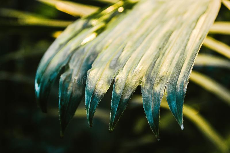 Palm leaves dark green background, plants grown in the Botanical garden.  stock photos