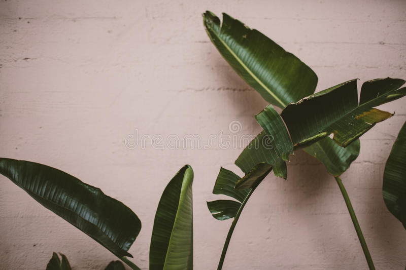 Palm leaves in front of pink wall royalty free stock photo
