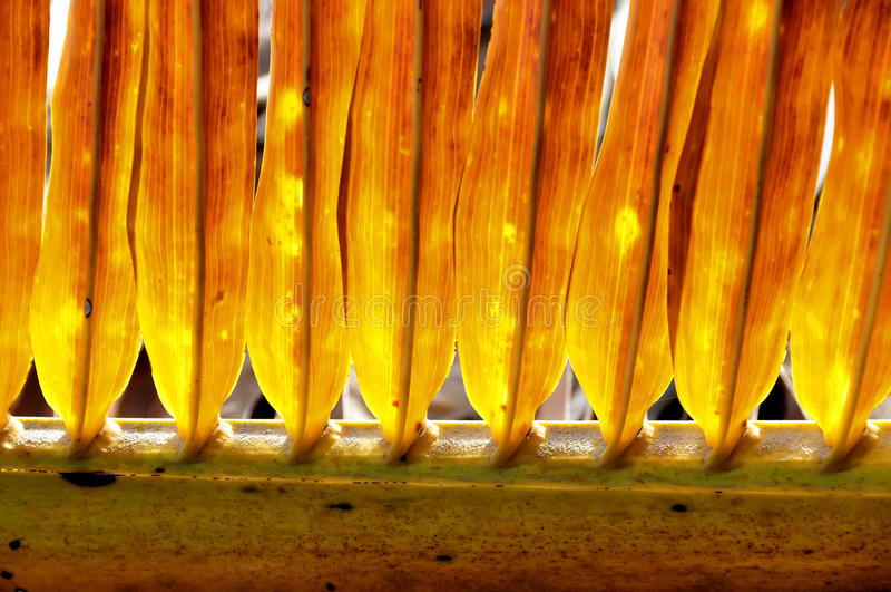 Download Palm Leaves Glow In The Sun Stock Image - Image of frond, ribbing: 17257199