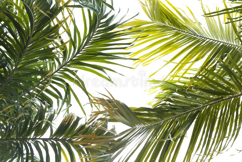 Palm leaves isolated on white background. royalty free stock photography