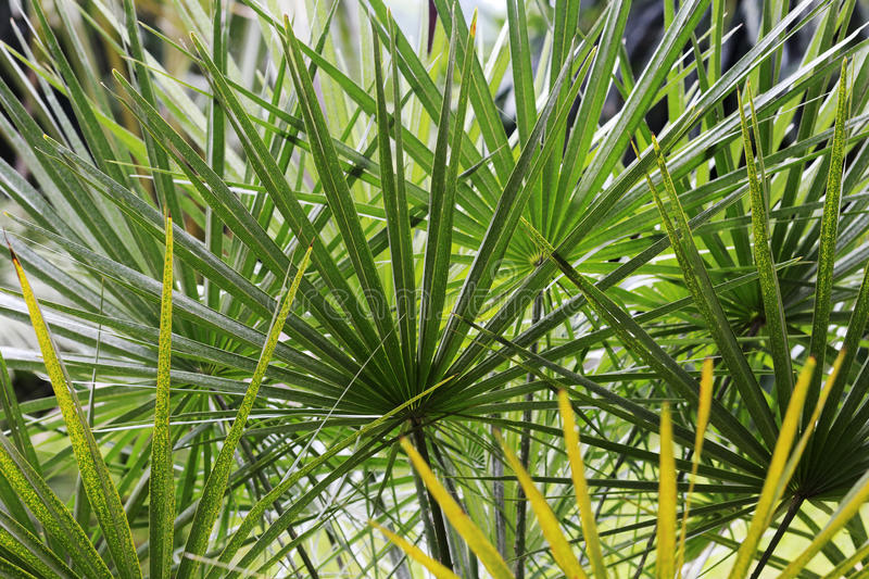 Palm leaves. Leaf of tropical plants palm royalty free stock photo