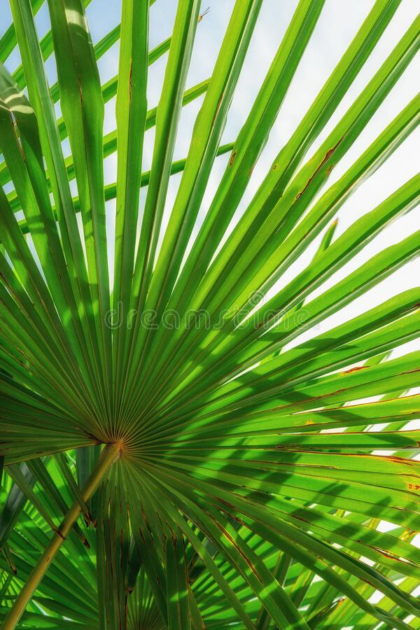 Palm leaves in sunny day. Nature background for instagram. Close-up. Vertical photo. Concept: summer, vacation. Palm leaves in sunny day.  Nature background for royalty free stock photo