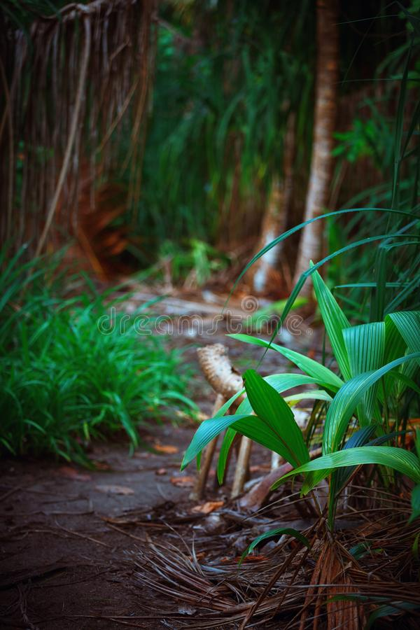 Palm leaves. Tropical Forest on the island in indian ocean. Beautiful landscape of humid tropical jungle. Palm leaves. Tropical Forest on the Fulhadhoo island in royalty free stock photography