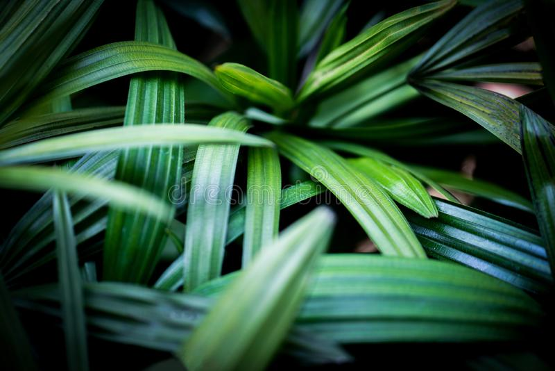 palm leaves tropical plant close up green leaf in jungle foliage dark background royalty free stock image