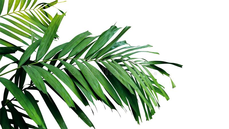 Palm leaves, tropical rainforest foliage plant isolated on white stock photos