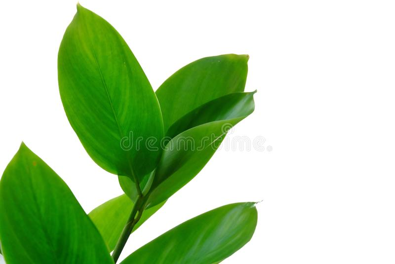 Palm leaves  Water plant leaves on white isolated for green foliage backdrop stock photos