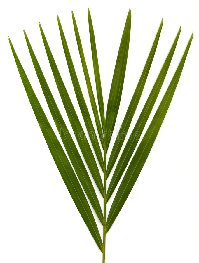 Palm leaves on white stock images
