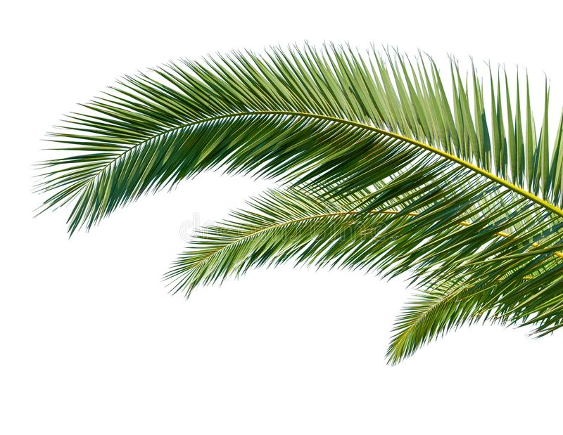 Palm Leaves on white background royalty free stock photos