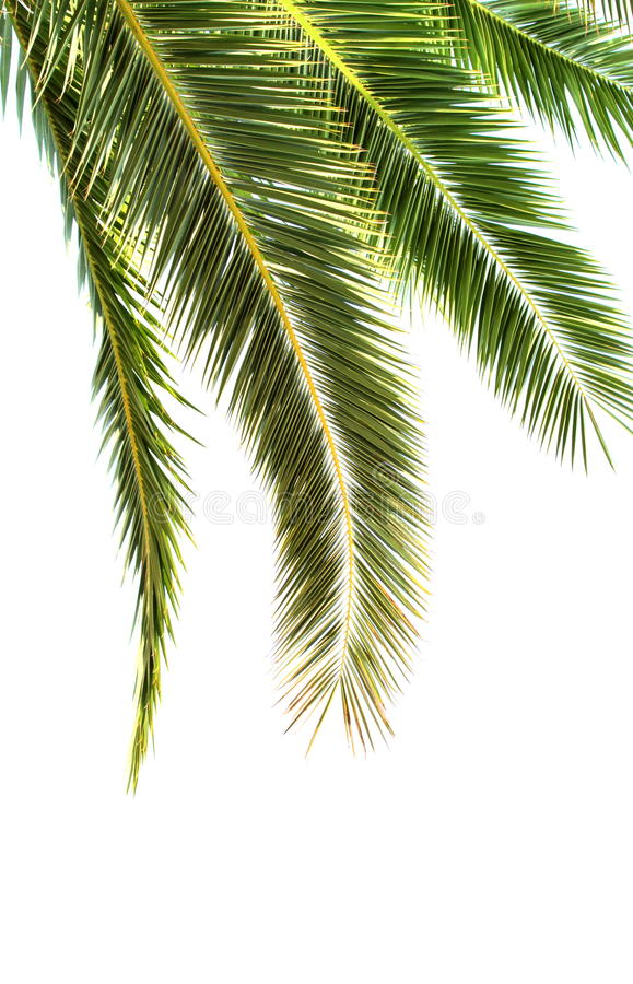 Palm leaves on white background royalty free stock image