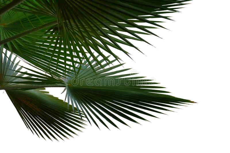 Palm leaves on white isolated background for green foliage backdrop. Palm leaves white isolated background green foliage backdrop nature leaf curve frond stem royalty free stock image