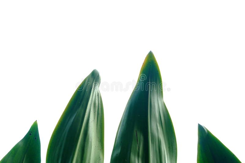 Palm leaves on white isolated background for green foliage backdrop. Tropical tree leaves n white isolated background green foliage backdrop border botany stock photography