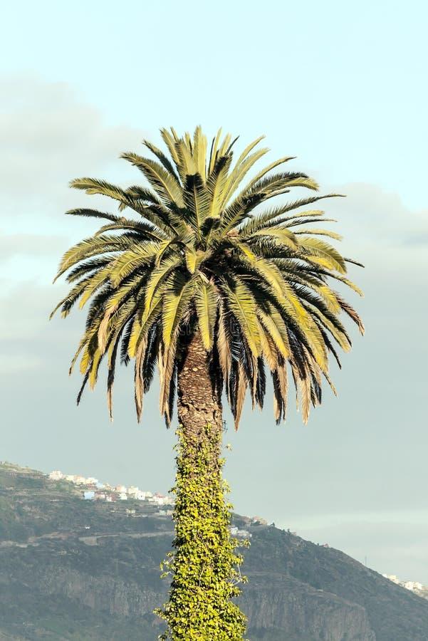 Palm met bladeren in de boomstam royalty-vrije stock afbeelding