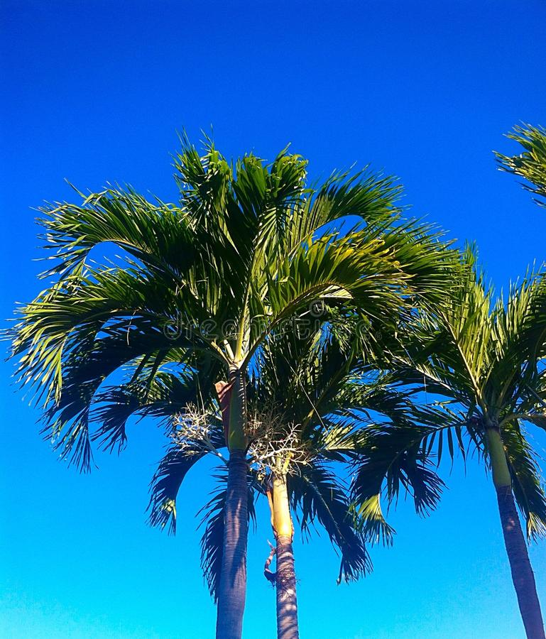 Palm met blauwe hemel stock afbeeldingen