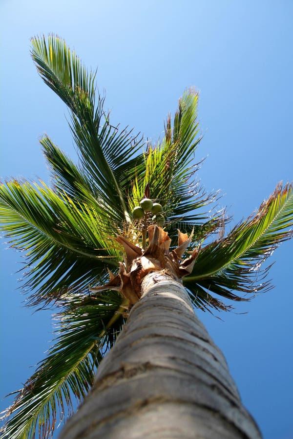 Palm met kokosnoten royalty-vrije stock afbeeldingen