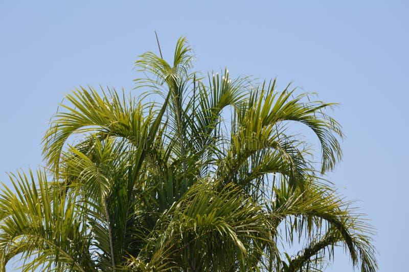 Palm met schoonheids blauwe hemel royalty-vrije stock afbeeldingen