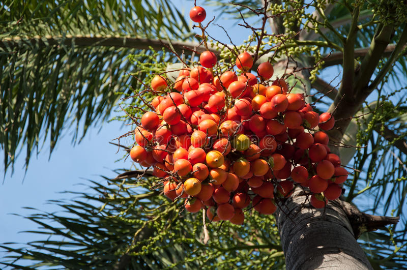 Palm nut tree. The seeds of palm nut tree stock images