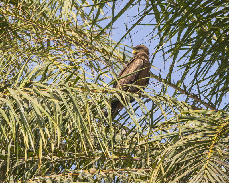 Palm-nut Vulture royalty free stock photos