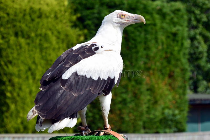 Palm nut Vulture. At a birds of prey centre royalty free stock photography