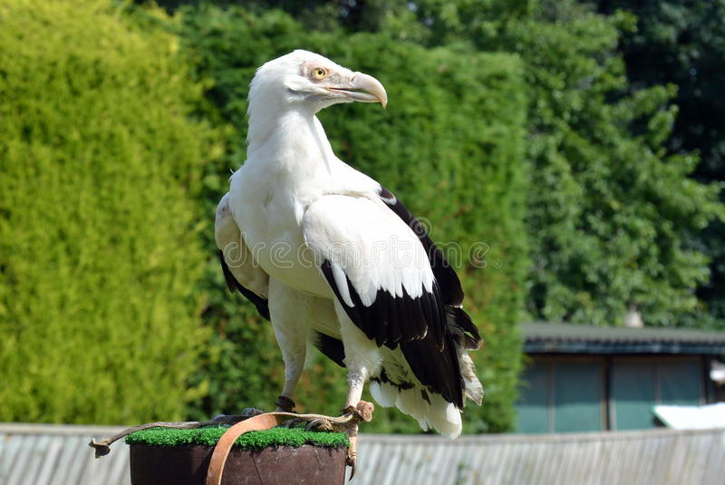 Palm nut Vulture. At a birds of prey centre stock image