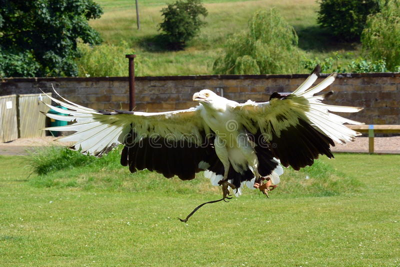 Palm nut Vulture. At a birds of prey centre stock images