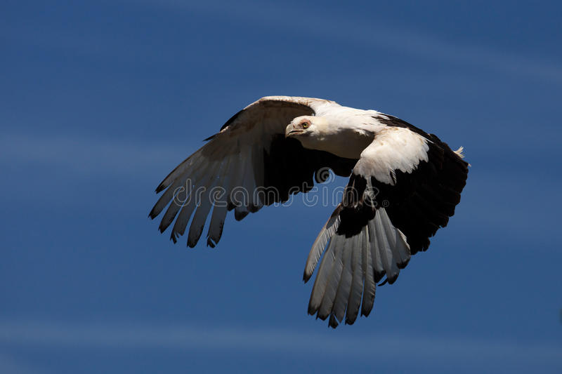 Palm-nut vulture in flight. Against a blue sky stock images
