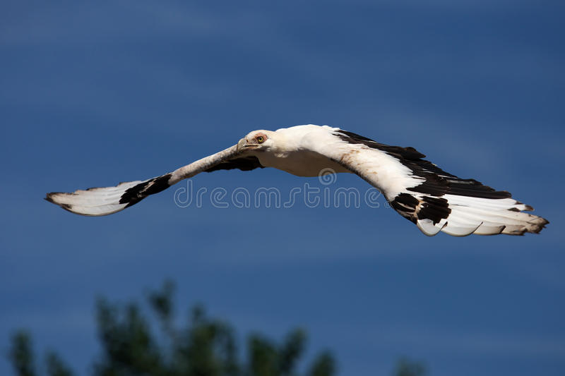 Palm-nut vulture in flight. Above trees and against a blue sky stock photography