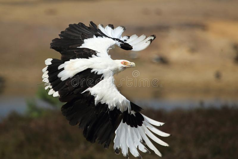 Palm-nut vulture. Flighting over the savannah stock photo