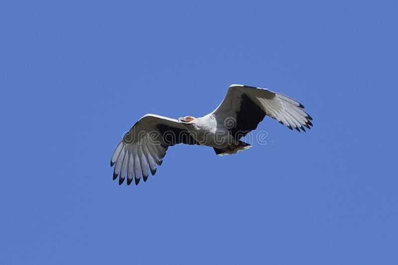 Palm-nut vulture Gypohierax angolensis. Palm-nut vulture in flight with blue skies in the background stock image