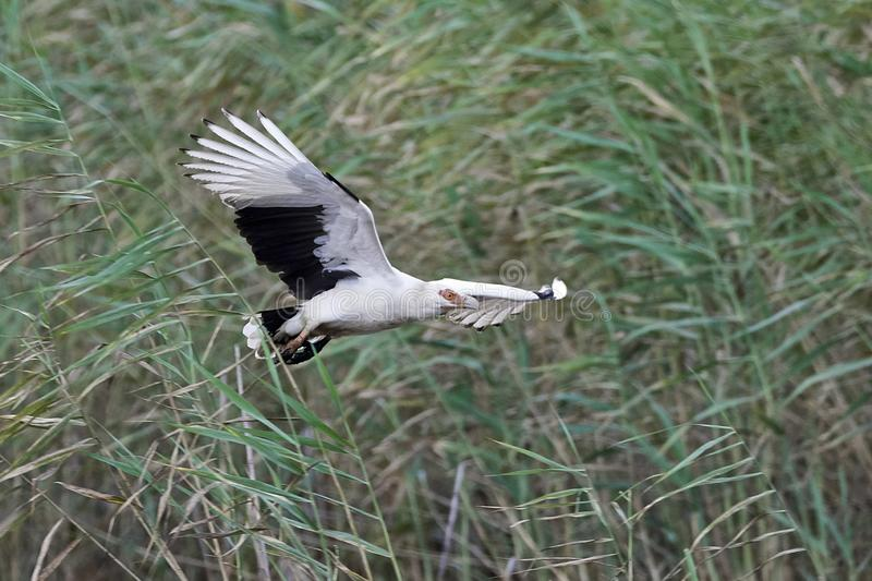 Palm-nut vulture Gypohierax angolensis. Palm-nut vulture in its natural habitat in Gambia stock images