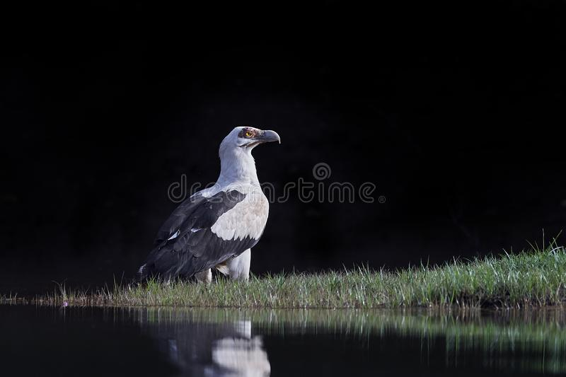 Palm-nut vulture Gypohierax angolensis. Palm-nut vulture in its natural habitat in Senegal royalty free stock images