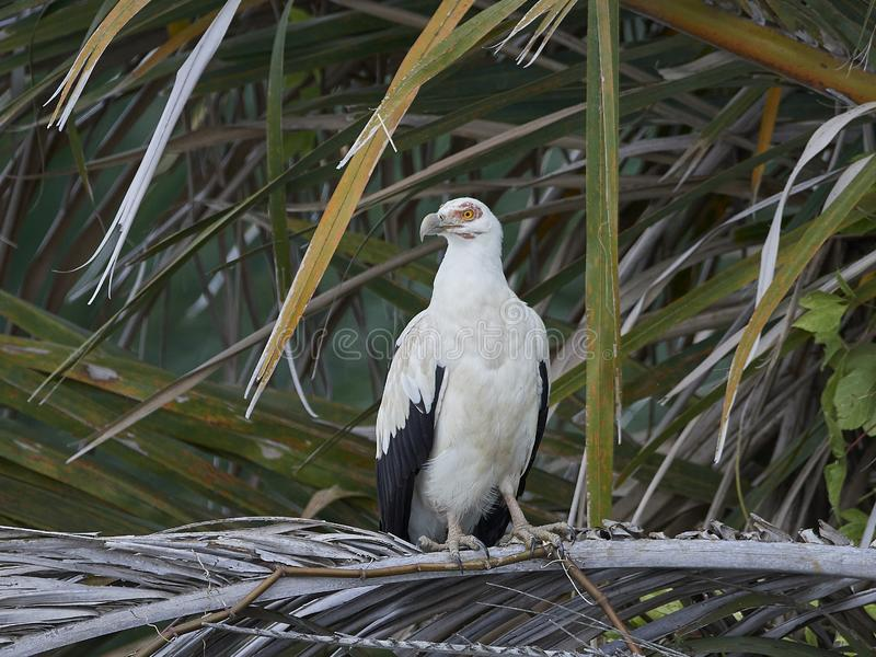 Palm-nut vulture Gypohierax angolensis. Palm-nut vulture in its natural habitat in The Gambia stock images