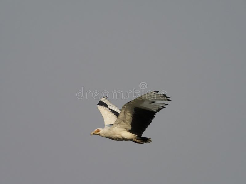 Palm-nut vulture, Gypohierax angolensis. Single bird in flight, Uganda, August 2018 stock images
