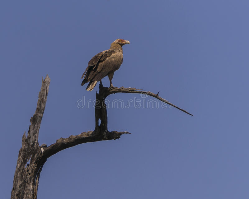 Palm-nut Vulture. The Palm-nut Vulture (Gypohierax angolensis) or Vulturine Fish Eagle i National park in Gambia. Africa royalty free stock image
