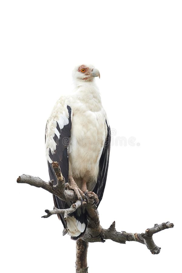 Palm-nut vulture Gypohierax angolensis. Palm-nut vulture in its natural habitat in the gambia royalty free stock image