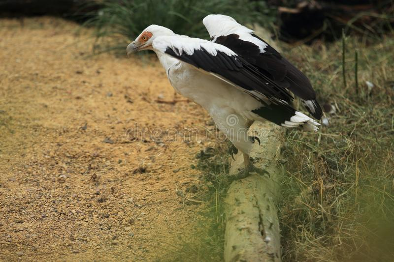 Palm-nut vulture. Is about to take off royalty free stock photos