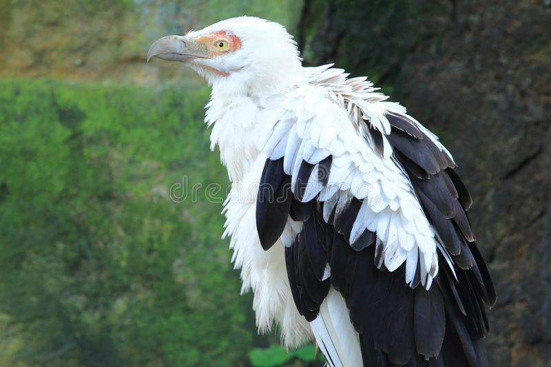 Palm-nut vulture. The upper body of palm-nut vulture royalty free stock images