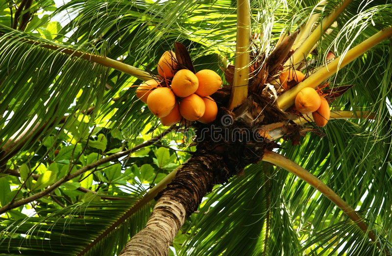 Palm nuts. Clusters of orange colored nuts on a tropical palm stock photography