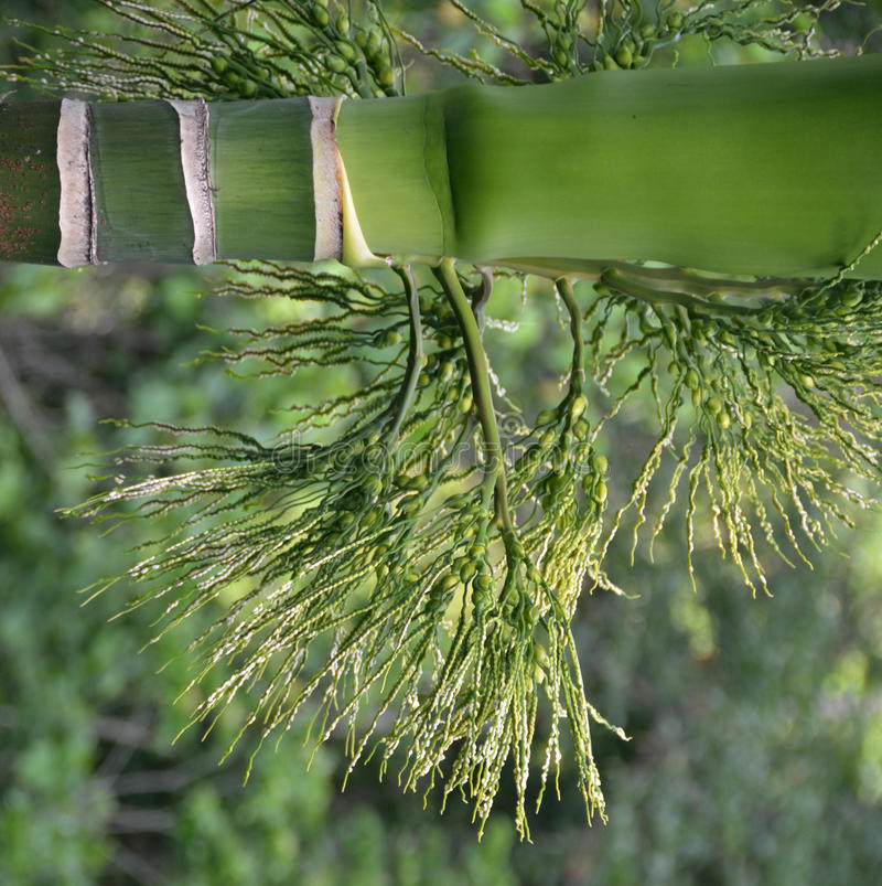 Palm nuts Areca. China, Huainan Island stock images