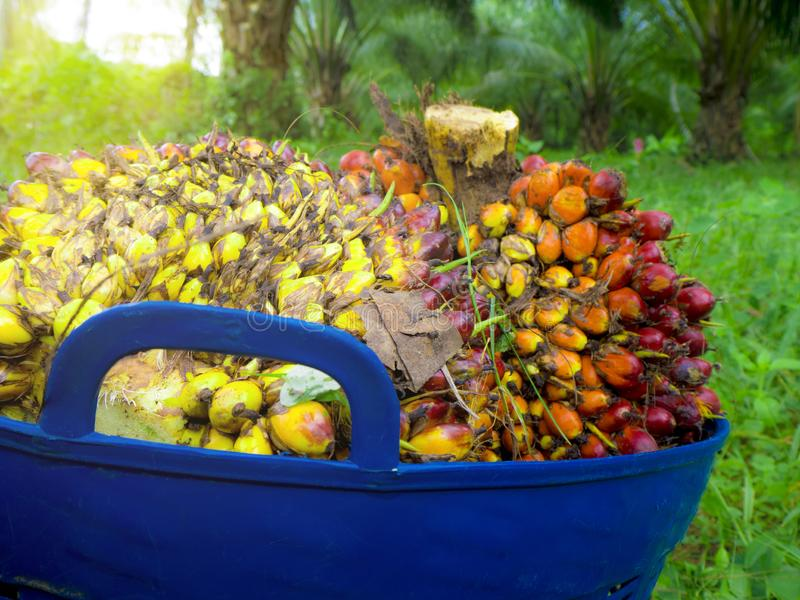 Palm oil, agricultural produce in a basket. Palm oil is an alternative energy. That can be used for many things Both used as ingredients in food And used to make stock photos